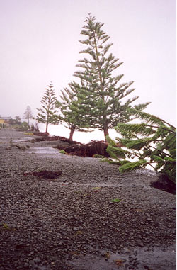 Erosion caused the loss of Norfolk pines at Haumoana in March 2005.  Photo: N. Daykin – Hawke's Bay Regional Council