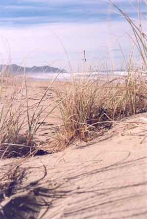 Healthy sand dunes like these at Ocean Beach are important defences against coastal hazards (Photo: HBRC)
