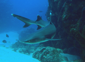 White tip shark