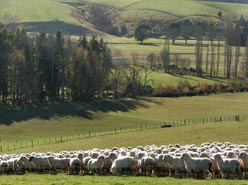 Sheep farming - Go Geraldine